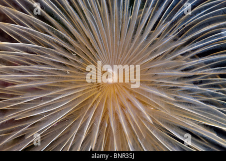 Tentacle of Spiral Tube Worm, Spirographis spallanzani, Cap de Creus, Costa Brava, Spain - Stock Photo