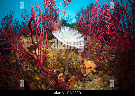 Spiral Tube Worm in Coral Reef, Spirographis spallanzani, Cap de Creus, Costa Brava, Spain - Stock Photo