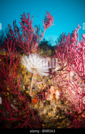 Spiral Tube Worm in Coral Reef, Spirographis spallanzani, Cap de Creus, Costa Brava, Spain - Stock Photo