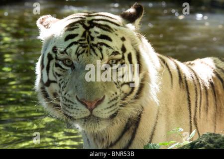 the panthera tigris essay Panthera tigris balica (bali tiger, balinese tiger) panthera tigris corbetti (corbett's tiger, indochinese tiger, indo-chinese tiger) panthera tigris jacksoni.