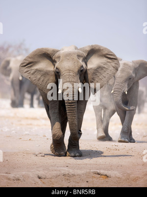 Elephant approaching over dusty sand with herd following in background (Etosha desert) - Stock Photo