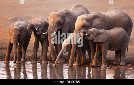 Elephant herd drinking at a waterhole in Etosha desert (Loxodonta Africana) - Stock Photo