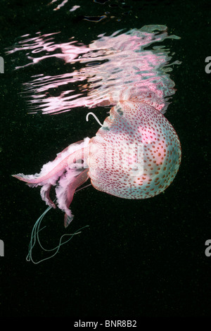Mauve Stinger Jellyfish, Pelagia noctiluca, Cap de Creus, Costa Brava, Spain - Stock Photo