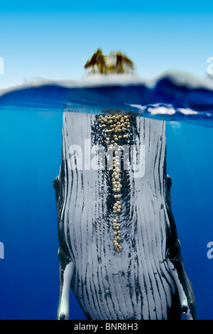 Humpback whale, Megaptera novaeangliae.  Large adult female showing well-developed parasitic acorn barnacles attached - Stock Photo