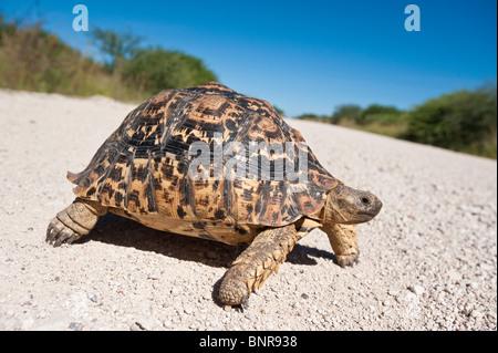 Leopard tortoise Geochelone pardalis crossing a road in Etosha Nationalpark Namibia - Stock Photo