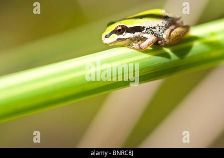Pacific Tree Frog (Pseudacris regilla) on a blade of grass - Stock Photo
