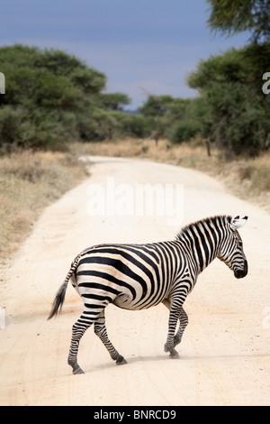 Zebra crossing the road, Tarangire National Park, Tanzania - Stock Photo