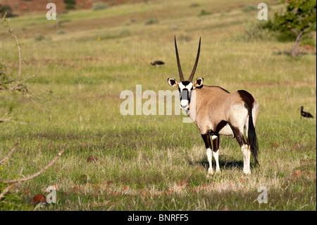 Gemsbuck Oryx gazella in Palmwag Namibia - Stock Photo