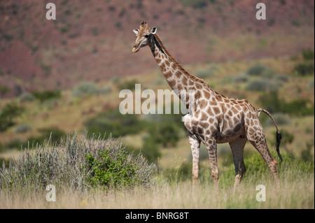 Angolan giraffe Giraffa camelopardalis angolensis in Palmwag Namibia - Stock Photo