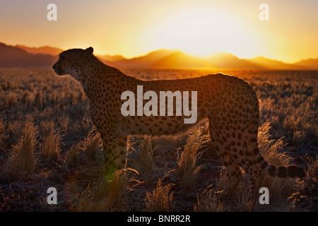 Cheetah (Acinonyx jubatus)in silhouette standing in desert habitat at sunset. Namib desert Namibia - Stock Photo