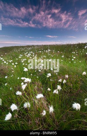 Cotton weed on the island Runde in Herøy kommune, Møre og Romsdal fylke, west coast of Norway. - Stock Photo