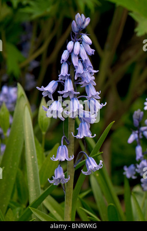 Spanish Bluebell (Hyacinthoides hispanica), inflorescence. - Stock Photo