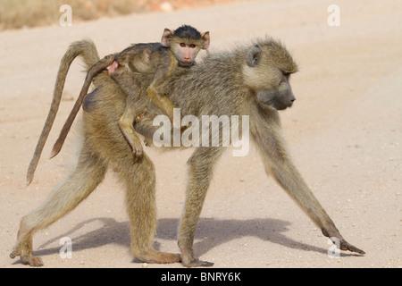 Female yellow baboon (Papio cynocephalus) with baby. - Stock Photo