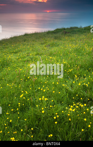 Wildflowers at daybreak on the island Runde on the west coast of Norway. - Stock Photo
