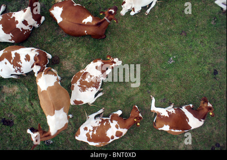 aerial drop shot of ruminating dutch cows in a meadow - Stock Photo