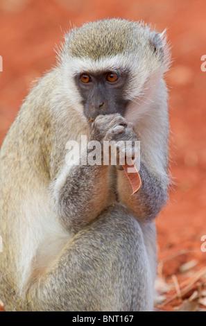 Vervet monkey (Chlorocebus pygerythrus) eating. - Stock Photo
