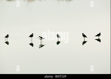 Black-necked stilts, Himantopus mexicanus, in a pond near Aguadulce in the Cocle province, Republic of Panama. - Stock Photo