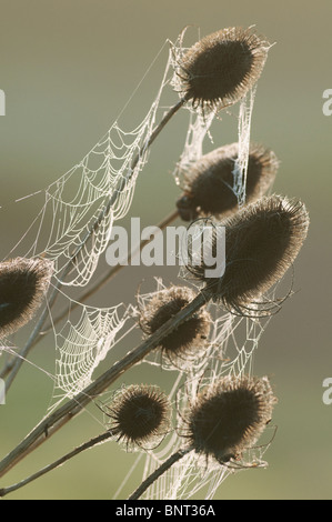 Common Teasel (Dipsacus fullonum) seedhead, dew covered orb web, North Kent Marshes, Kent, England. - Stock Photo