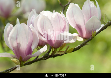 Saucer Magnolia (Magnolia x soulangeana), variety: Norbertiana, flowering twig. - Stock Photo