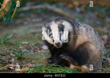 Eurasian badger (Meles meles), scratching, Kent, England, spring. - Stock Photo