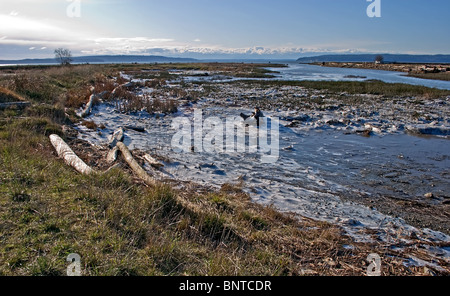 This winter landscape is an icy tidal flat with various driftwood on ice in the dune grass ecology. Taken on a clear, - Stock Photo