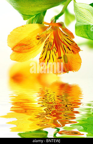 Fresh yellow lily in water with reflection - Stock Photo