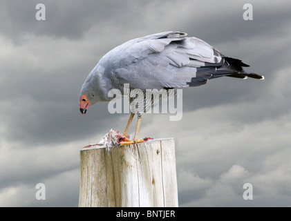 African Harrier Hawk, Gymnogene, Polyboroides typus, Accipitridae, Accipitriformes. Africa, south of the Sahara. - Stock Photo