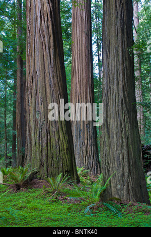 Redwood trees in Humboldt Redwoods State Park in Northern California - Stock Photo