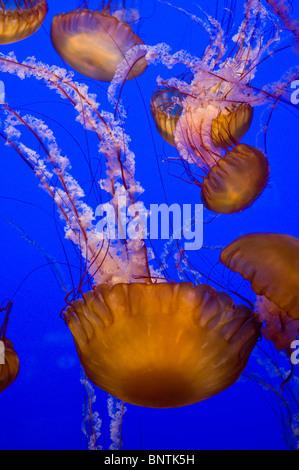 Several Black Sea Nettles float gracefully at the Monterey Bay Aquarium in California - Stock Photo