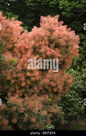 Cotinus coggygria smoke bush growing in Savil gardens, Berkshire - Stock Photo