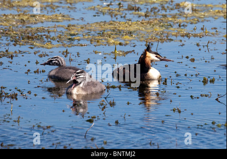 Great Crested Grebes and young on lake Podiceps cristatus Bryn Bach Country Park Tredegar Wales UK - Stock Photo