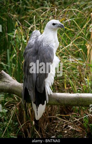 White-Bellied Sea Eagle, Haliaeetus leucogaster, Accipitridae, Accipitriformes, India, South East Asia and Australia. - Stock Photo