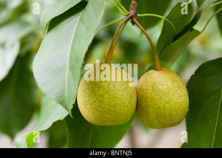 Asian pears on branch - Stock Photo