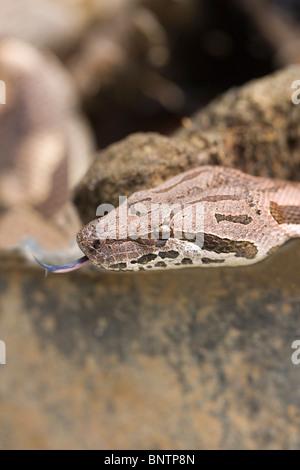 Dumeril's Boa (Boa dumerilli).  Close up of head showing distinctive markings on skin. Portrait. Tongue extended. - Stock Photo