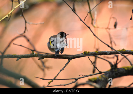 European Goldfinch Acanthis carduelis - Stock Photo