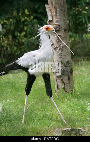 Secretarybird or Secretary Bird, Sagittarius serpentarius, Sagittariidae, Accipitriformes. Endemic to Africa. - Stock Photo