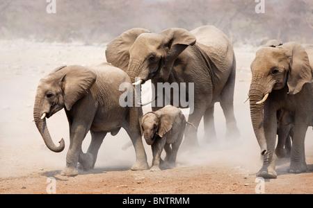 Elephant herd approaching over dusty plains of Etosha National Park - Stock Photo