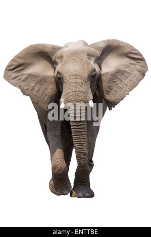 African Elephant isolated on white; Loxodonta Africana - Stock Photo