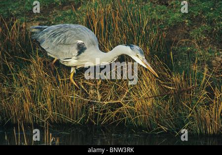 Grey heron, Ardea cinerea, fishing, kent, England, UK. - Stock Photo