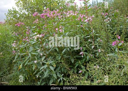Himalayan balsam plants invading banks of River Wye, UK