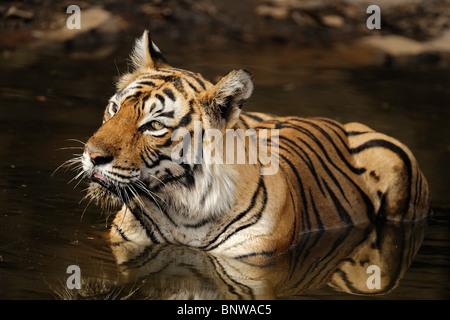 Bengal Tiger (Panthera tigris) relaxing in a waterhole, Ranthambore, India