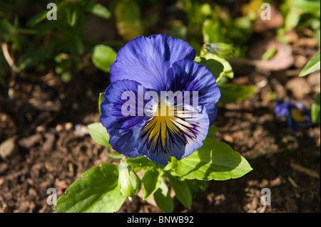 Blue flower in the garden Latin name Viola tricolor - Stock Photo