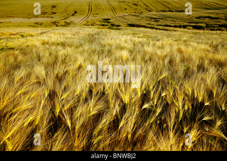 Corn field in the middle of summer - Stock Photo