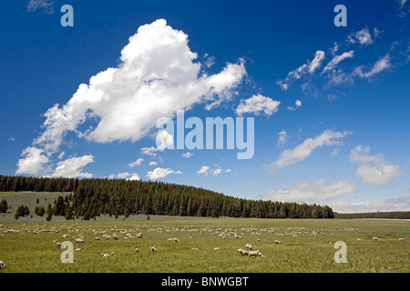 Sheep grazing in Bighorn National Forest, Wyoming. - Stock Photo