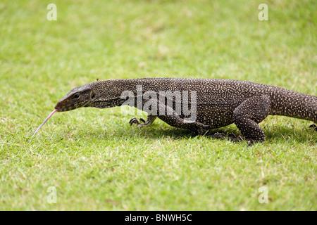 big monitor lizard varan walking on grass, malaysia - Stock Photo