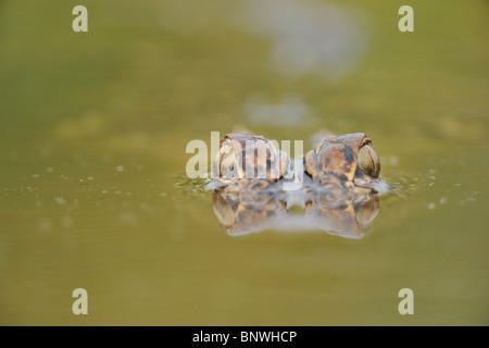 American Alligator (Alligator mississipiensis), adult wimming, Fennessey Ranch, Refugio, Coastal Bend, Texas Coast, - Stock Photo