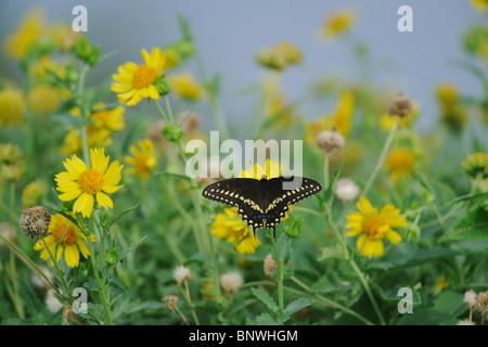 Black Swallowtail (Papilio polyxenes), adult feeding on Huisache-Daisy (Amblyolepis setigera), Sinton, Corpus Christi, Texas