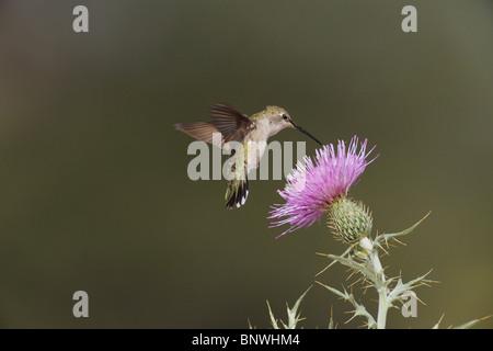 Black-chinned Hummingbird (Archilochus alexandri), female feeding on Texas thistle, Chisos Mountains, Big Bend National - Stock Photo