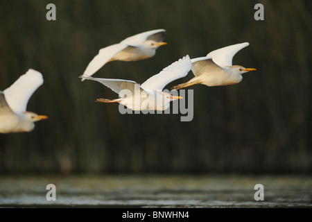 Cattle Egret (Bubulcus ibis), flock in flight, Fennessey Ranch, Refugio, Coastal Bend, Texas Coast, USA - Stock Photo