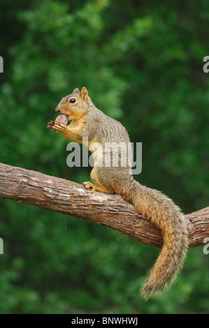 Eastern Fox Squirrel (Sciurus niger), male eating pecan nut, Fennessey Ranch, Refugio, Coastal Bend, Texas Coast, - Stock Photo